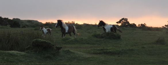 Wild Dartmoor ponies, happy to have the moor to themselves again