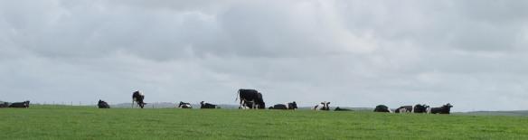 Irrelevant Photo: Cows.