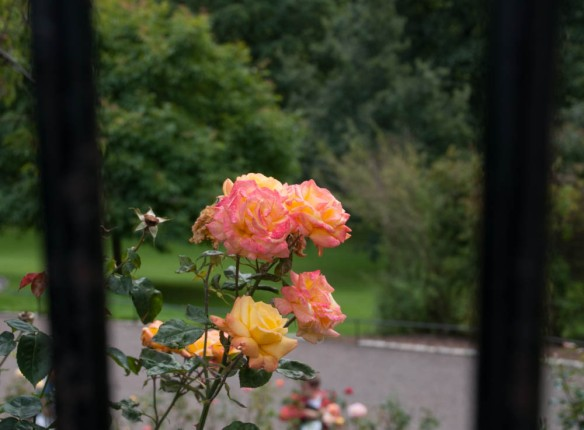 Irrelevant Photo: Rose Behind Bars, by Ida Swearingen