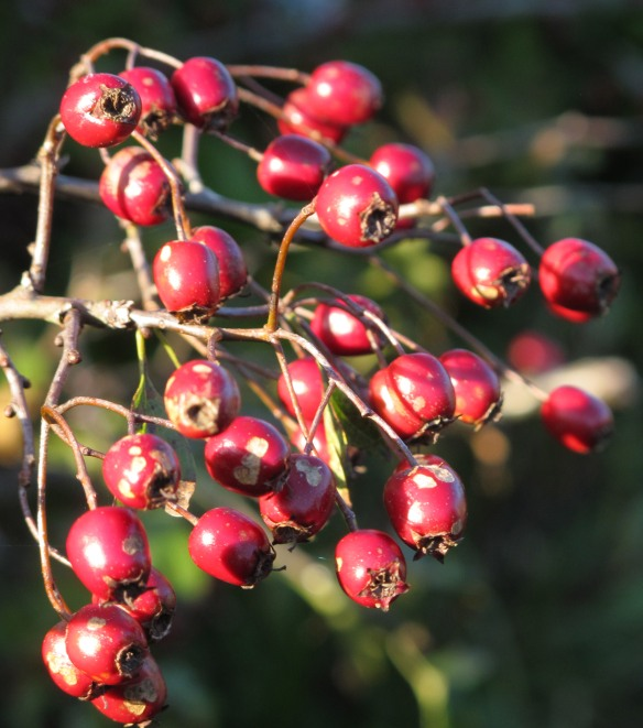 Deeply Irrelevant Photo: Red berries in the fall