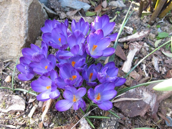 Irrelevant photo: It's spring! Crocuses by our back door.