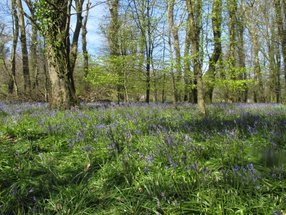 Irrelevant photo: bluebells in flower at Lanhydrock.