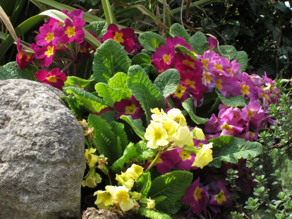 Semi-relevant photo. Primroses, taken in May (they're past their best now). I thought the primrose path might actually have a connection here.