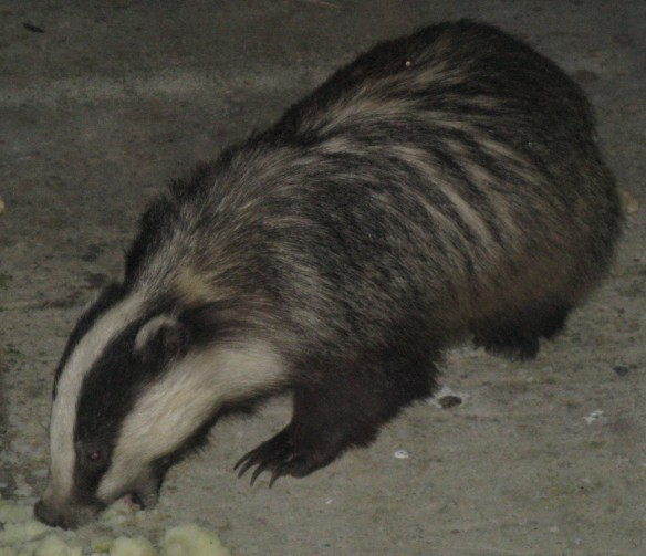 Relevant photo. I couldn't help myself. I had no idea what a badger looked like before I moved here, so I thought I ought to toss one in. This is from Wikimedia, taken by Prosthetic Head, and don't ask me what that means. I'm only repeating what the data says. It's scarier than the badger if you ask me.