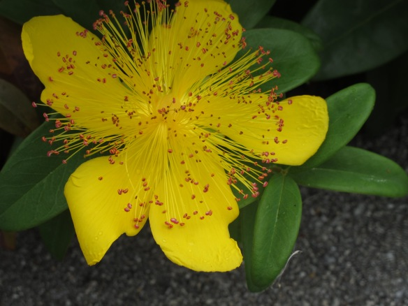 Irrelevant photo: St. John's wort, or rose of sharon