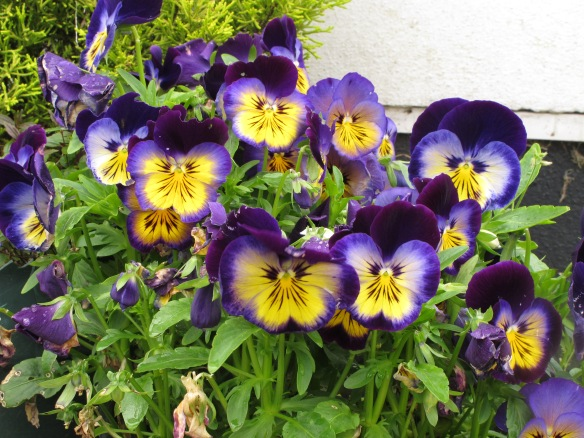 Irrelevant photo: pansies. They bloom all year round here. Having lived in Minnesota, I'm still knocked out by that.