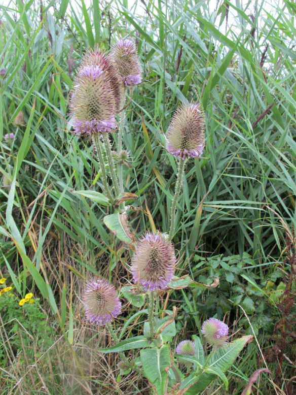 Irrelevant photo: teasels