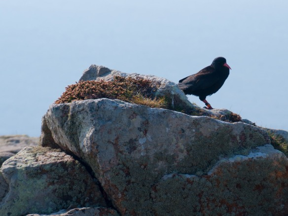 "A chough, pronounced ""chuff,"" Cornwall's official bird. It was driven to extinction in Cornwall, but a few years ago a pair flew over from Ireland and nested successfully, and a handful can now be found. Those who know are keeping their locations secret. I know and I ain't telling. Photo by Ida Swearingen, who ain't telling either."