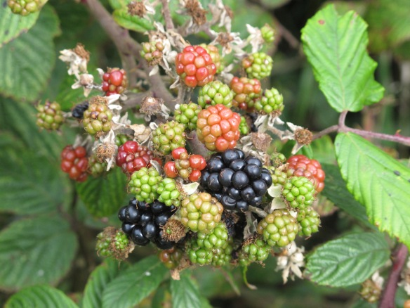Irrelevant photo: wild blackberries