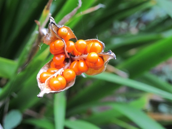 Irrelevant photo: These are the (gorgeous) seeds from a (n equally gorgeous) plant, montbretia, that serious gardeners just hate because it will take over entire counties. As far as I can figure out, it's pronounced momBREEsha.