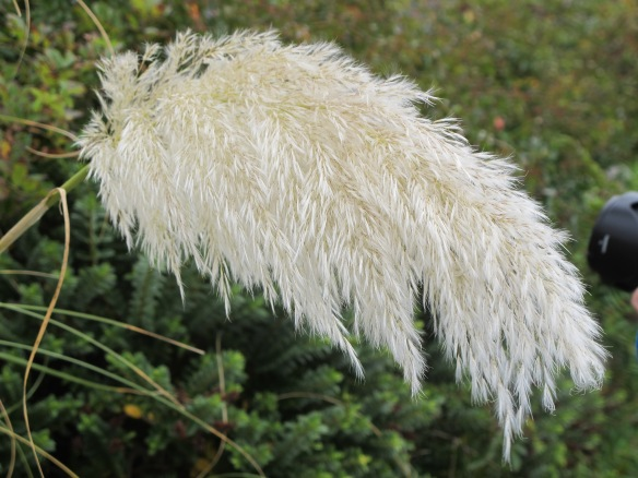 Screamingly irrelevant photo: pampas grass, which is (I think) called something else here. Don't you love it when I'm informative?