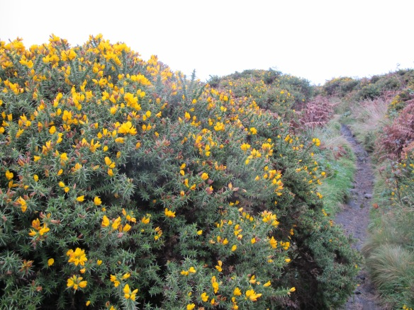 Irrelevant photo: gorse (that's the yellow stuff) and heather (that's the purple)