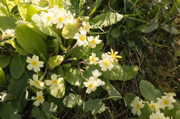 Screamingly irrelevant photo: primroses. It's spring. Photo by Ida Swearingen