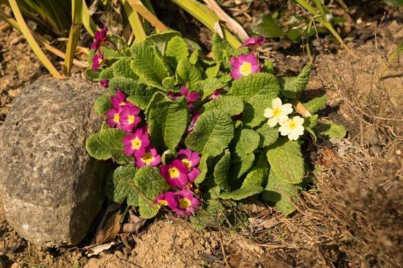 Irrelevant photo: primroses. Photo by Ida Swearingen