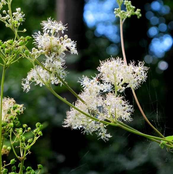 Irrelevant photo: meadowsweet, a wildflower that was once used to flavor mead. Or so my flower book tells me.
