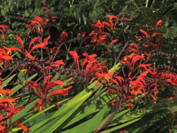 Irrelevant photo: Montbretia, which is pronounced, as far as I can figure it out, mombretia. It's as invasive as it is beautiful.
