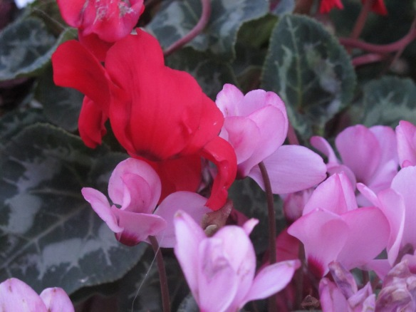 Marginally relevant photo: These are cyclamen, which bloom in the winter.